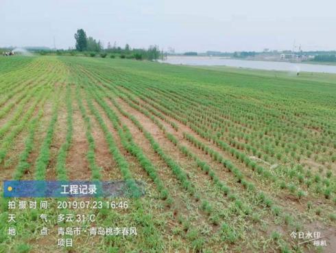 13-qingdao-bluetown-taoli-chunfeng-zsd